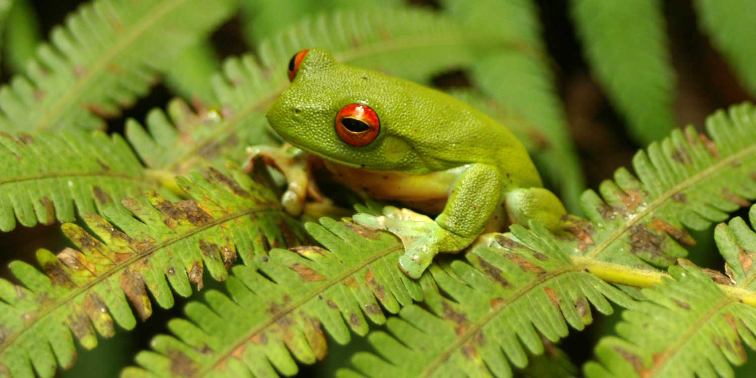 The red-eyed green tree frog is the mascot for Crystal Creek Rainforest Retreat